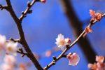 真冬の京都に咲く桜