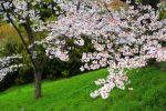 2015年京都の桜
