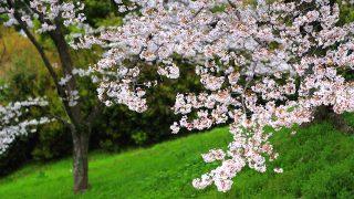 京都蹴上インクラインの桜