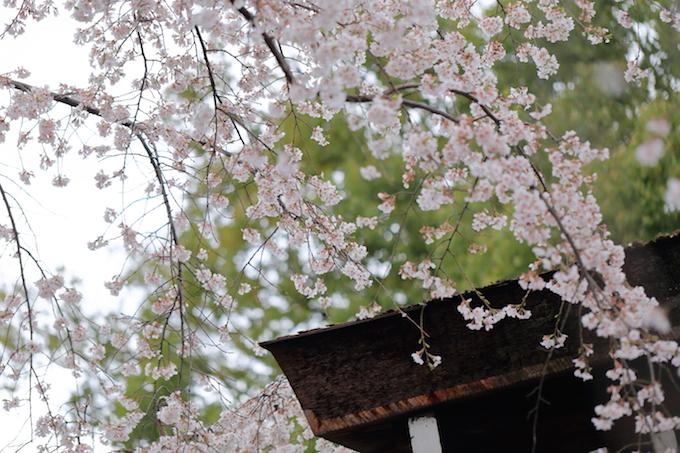 京都 平野神社の桜