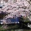 京都祇園白川巽橋の桜