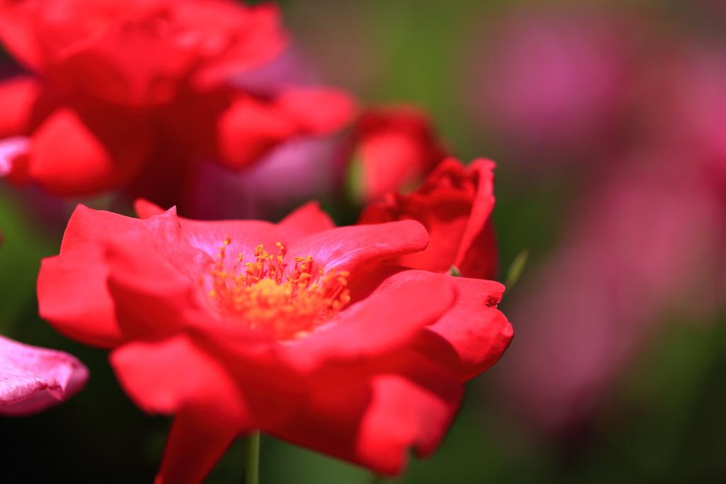 靭公園 バラ