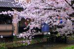 2017年京都の桜(祇園白川・鴨川)