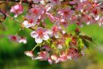 京都早咲きの河津桜