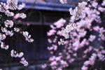 京都 祇園巽橋の桜 2018