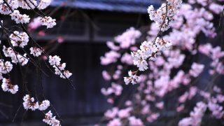 祇園 巽橋 桜