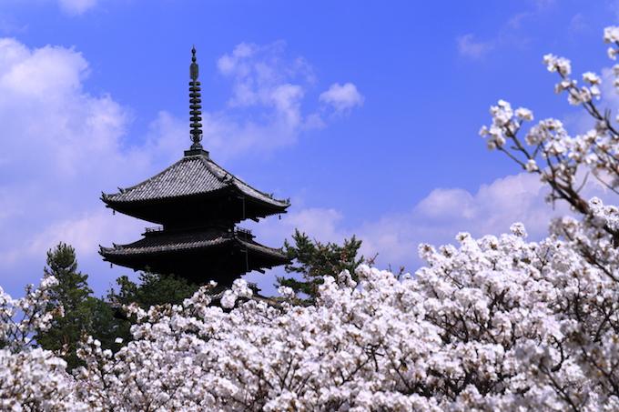 京都 仁和寺 御室桜と五重塔