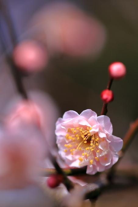 京都梅宮大社