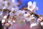 京都大覚寺の桜 2019