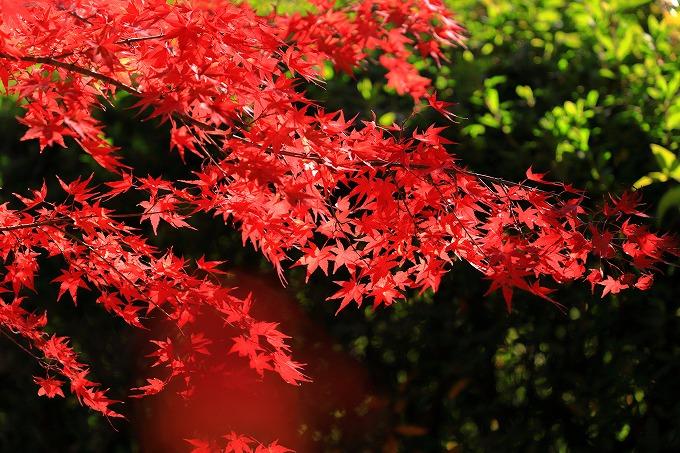 京都府立植物園 紅葉
