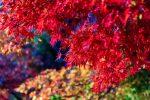 京都 嵐山の紅葉 2020