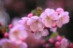 平野神社 春 2021